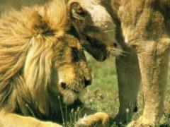 Сеансы Рейки Пещерного Льва